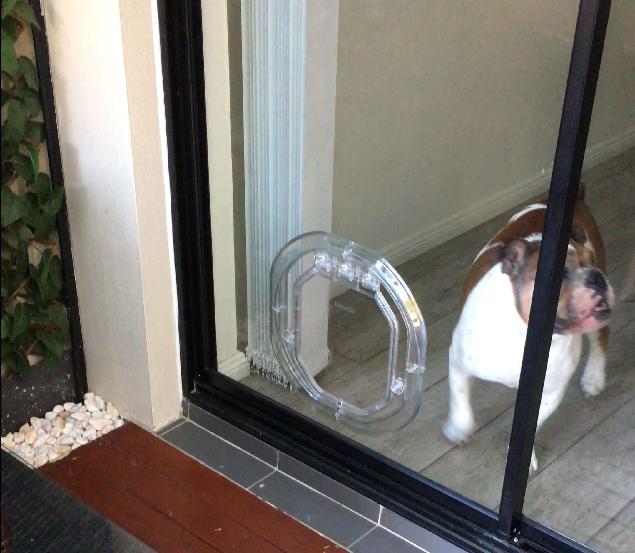 Bulldog using the dog door