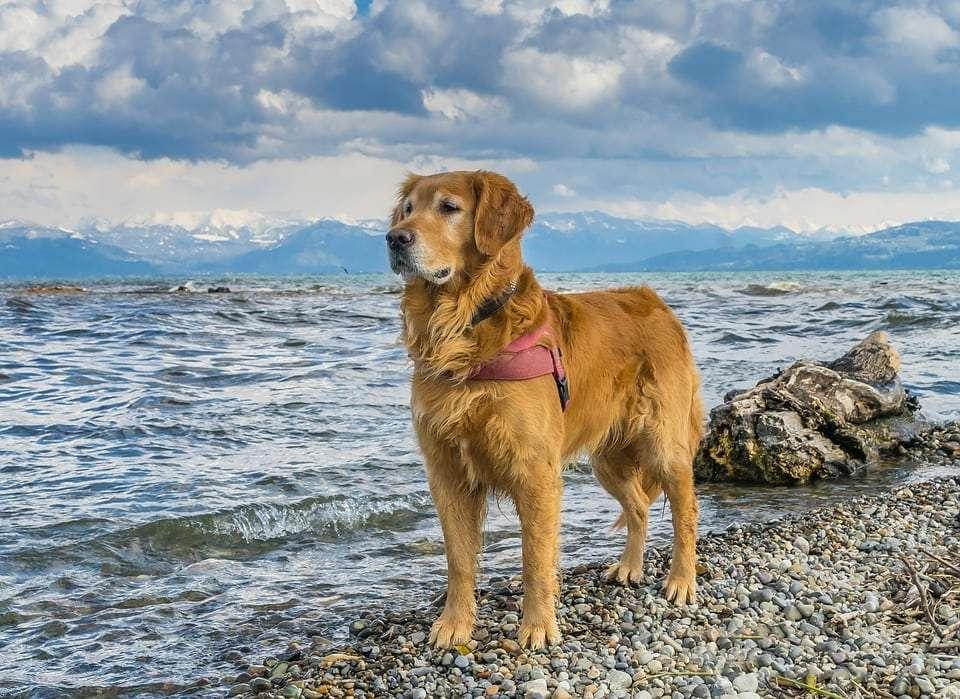 golden retriever on the shore