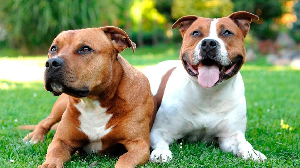 American Staffy dog breed